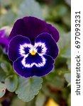 Purple Face Like Flower Isolated