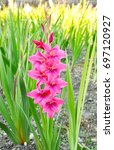 Colorful Of Gladiolus On Field. ...