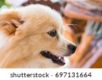 pomeranian chihuahua mix dog... | Shutterstock . vector #697131664