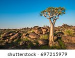 the quiver tree  or aloe...   Shutterstock . vector #697215979