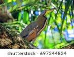 bare throated tiger heron... | Shutterstock . vector #697244824