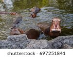 hippos are open mouth for food. | Shutterstock . vector #697251841