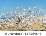 flock of flying seagulls on... | Shutterstock . vector #697254649