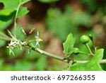 Solanum Torvum  Turkey Berry ...
