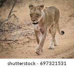 lioness of the takazile pride... | Shutterstock . vector #697321531