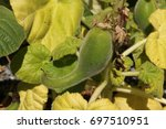 """Small photo of Carnivorous """"Yellow Unicorn Plant"""" seed pods (or Devil's Claw, Gemshorn) in St. Gallen, Switzerland. Ibicella Lutea is native to South America. It kills preys with sticky leaves and stalks."""