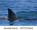 great white shark  first dorsal ... | Shutterstock . vector #697515661