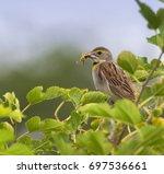 american dickcissel  with... | Shutterstock . vector #697536661