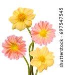 beautiful bouquet of dahlia... | Shutterstock . vector #697547545