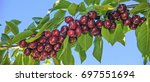 Red Cherries On A Branch