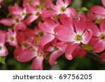 Beautiful pink dogwood blossoms. Closeup with extremely shallow dof. Selective focus on center of closest flower. - stock photo