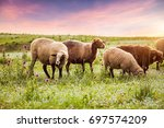 sheep in the pasture | Shutterstock . vector #697574209