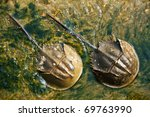 Two Horseshoe Crabs In Thailand