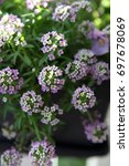 Small photo of Beautiful purple and white Alysium flowers surrounded by green leaves