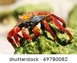 Sally Lightfoot Crab  ...