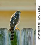 Small photo of Juvenile Sharp-Shinned Hawk, Accipiter striatus.