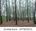 thai pine forest with a bright... | Shutterstock . vector #697820521