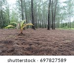 little dry sugar palm in front... | Shutterstock . vector #697827589