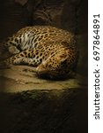 Sleeping Jaguar Portrait With...