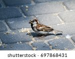 house sparrow found scattered... | Shutterstock . vector #697868431