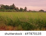 grasses weed in paddy field | Shutterstock . vector #697870135