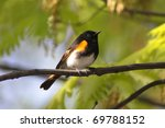 Small photo of American Redstart Warbler (Setophaga ruticilla) in early spring