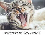 close up of cat with open mouth | Shutterstock . vector #697949641