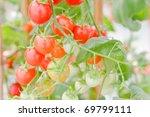 fresh tomato on the vine.   Shutterstock . vector #69799111