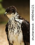 Small photo of Portrait of an african hawk eagle - aquila spilogaster