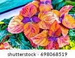 coleus plant red color vibrant... | Shutterstock . vector #698068519