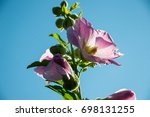 Small photo of pink Alcea rises on a background of blue sky in the rays of the setting sun