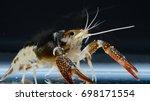 crayfish procambarus clarkii... | Shutterstock . vector #698171554