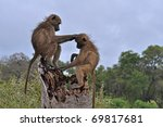 Two Wild Chacma Baboons...