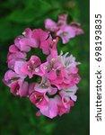 a beautiful bougainvillea... | Shutterstock . vector #698193835