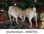 fun picture of pug dog's back ends under christmas tree - stock photo