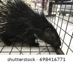 porcupine in a cage at... | Shutterstock . vector #698416771