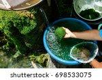 freshwater algae  spirogyra sp. ... | Shutterstock . vector #698533075