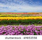 Horizontal Row Of Tulips On Th...
