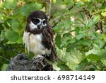 spectacled owl is a rare... | Shutterstock . vector #698714149