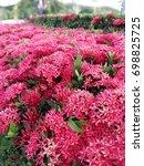 ixora in the garden.   Shutterstock . vector #698825725