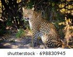 leopard female sitting on... | Shutterstock . vector #698830945