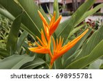 heliconia golden torch ... | Shutterstock . vector #698955781