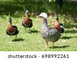 Emperor Goose With Red Necked...