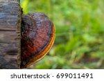 Mushroom  Fomitopsis Pinicola