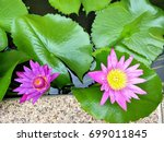 purple lotus in the backyard... | Shutterstock . vector #699011845