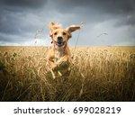 golden cocker spaniel dog...   Shutterstock . vector #699028219