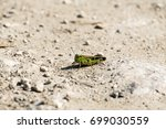 Small photo of Grasshopper of the Acrididae family sits on a dirt road (Omocestus viridulus)