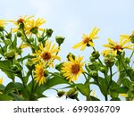 Yellow Helianthus Lemon Queen...