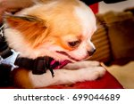 the dog chihuahua in thailand | Shutterstock . vector #699044689
