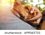 beagle dog sleeps on the owner... | Shutterstock . vector #699065731